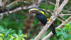 Tucancito negro( Selenidera spectabilis) comiendo una semilla.