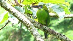 Tucancito verde tucanete (Aulacorhynchus sulcatus) en la rama de un albor.