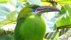 Tucancito verde tucanete (Aulacorhynchus sulcatus) entre las hojas de un albor.