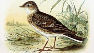 Ilustración de la alondra común (Alauda arvensis)