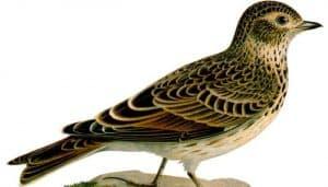 Dibujo de la alondra común (Alauda arvensis)
