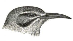 Dibujo de la cabeza de la alondra ibis (Alaemon alaudipes)