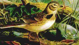 Ilustración de la calandria común (Melanocorypha calandra) macho