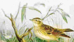 Ilustración de la calandria común (Melanocorypha calandra) hembra