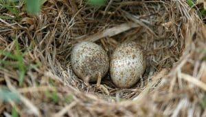 Huevos de la terrera coronigrís (Eremopterix griseus)