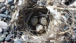 Huevos de la cogujada común (Galerida cristata)