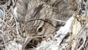 La cogujada común (Galerida cristata) en un nido