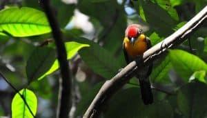 El torito coronado o barbudo coronirrojo (Capito aurovirens) en una rama