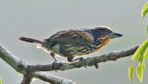 El capitán dorado o barbudo negrimanchado (Capito auratus)