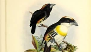 Chaboclo pechiblanco o cabezón pechiblanco (Capito maculicoronatus)