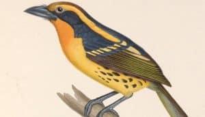 Dibujo del barbudo negrimanchado o cabezón turero (Capito auratus)
