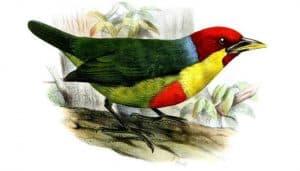 Dibujo del cabezón versicolor (Eubucco versicolor)