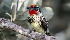 El cabezón turero o barbudo negrimanchado (Capito niger) Hembra posando en una rama