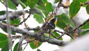 Cabezón turero o Barbudo negrimanchado (Capito auratus) en una rama