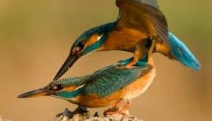 Martín pescador común o alción (Alcedo atthis) en reproducción.