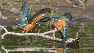 Martín pescador común o alción (Alcedo atthis)