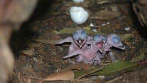 Crías de los cucaburra común (Dacelo novaeguineae)
