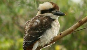 Cucaburra común (Dacelo novaeguineae) joven