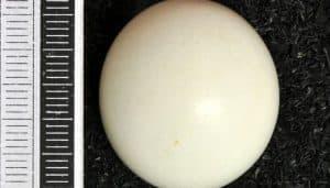 Huevo del pescador pío (Ceryle rudis)