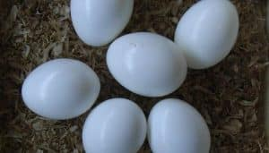 Huevos del martín pescador común o alción (Alcedo atthis)