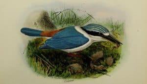 Dibujo del alción de la Sonda (Todiramphus australasia)