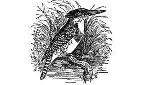 Dibujo del alción moteado (Actenoides lindsayi)
