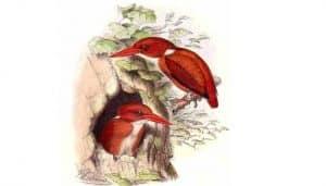 Ilustración del martín pigmeo malgache (Ceyx madagascariensis)