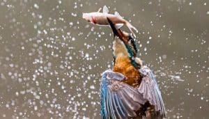 Hermosa imagen del Martín Pescador saliendo del agua con un pescado
