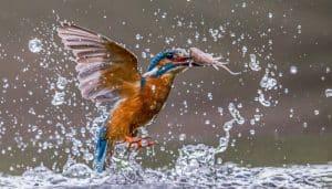 Martín Pescador en el agua con pequeño pescado