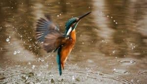 Martín Pescador en el agua