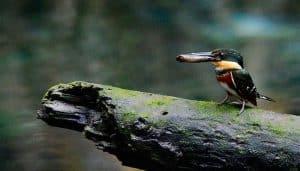 Martín Pescador enano con un pescado en el pico