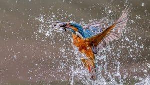 Martín Pescador saliendo del agua