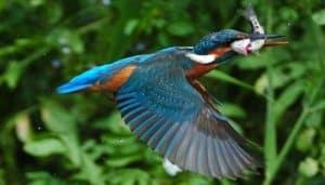Martín Pescador volando con un pescado en el pico