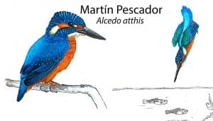 Martín Pescador (Alcedo atthis)