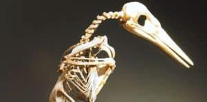 Esqueleto del martín pescador común o alción (Alcedo atthis)