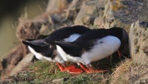 Frailecillo atlántico (Fratercula arctica) en su nido.