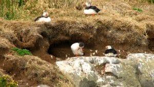 Los nidos del frailecillo atlántico (Fratercula arctica)
