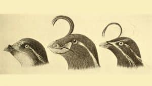 Dibujo del mérgulo empenachado (Aethia cristatella)