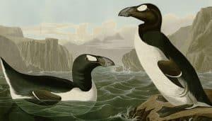 Ilustración del alca gigante (Pinguinus impennis)