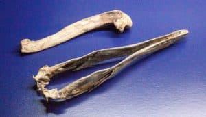 Huesos del alca gigante (Pinguinus impennis)