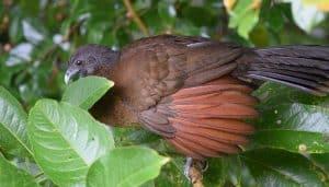 Chachalaca cabecigris (Ortalis cinereiceps)