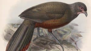 Dibujo del chachalaca ventricastaña (Ortalis wagleri)