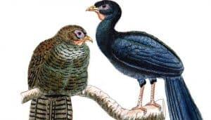 Ilustración de aves perteneciente a las familia Cracidae.