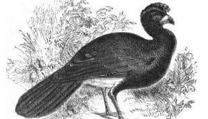 Dibujo del paujil culiblanco o pavón guayanés (Crax alector)