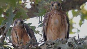 Pichones del Águila