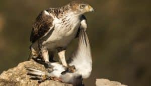 Aguila Calzada con su presa