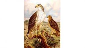 Ilustración de una pareja de Águilas Calzadas