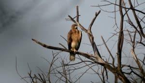Águila entre las ramas secas