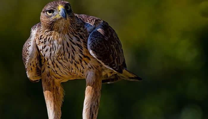 Aguila parada