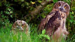 Pareja de Búhos Reales (Bubo bubo) en su nido